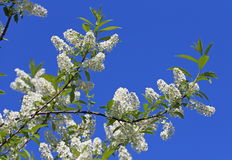 Bird cherry in the spring Stock Images