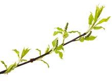 Bird cherry stem with buds Stock Photo