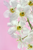 Bird cherry tree Stock Photography