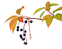 Bird cherry tree Stock Photo