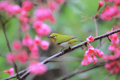 Bird on cherry tree Stock Photography