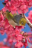 Bird in Cherry Tree. Wax eye bird amongst pink cherry tree blooms royalty free stock photography