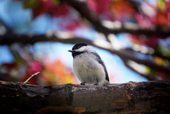 Bird in cherry tree Royalty Free Stock Photo