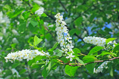 Bird Cherry tree in bloom at spring garden Stock Images
