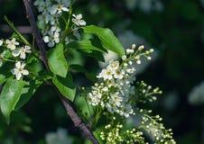 Bird-cherry tree Royalty Free Stock Photography