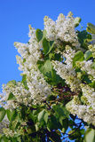 Bird-cherry tree blooming, blue sky background Stock Photo