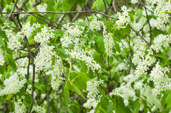 Bird-cherry tree in blossom Royalty Free Stock Photo