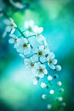 Bird cherry tree in blossom on blue tone Stock Photos