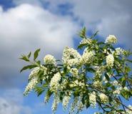 Bird cherry tree in blossom Royalty Free Stock Photo