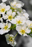 Bird cherry tree Royalty Free Stock Image