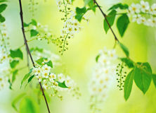 Bird cherry tree in blossom Royalty Free Stock Images