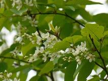 Bird-cherry tree blossom Stock Photography