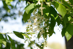 Bird cherry tree blossoming at spring Royalty Free Stock Image