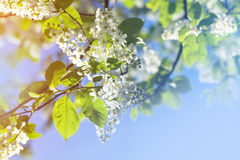 Bird cherry tree blossoms Stock Photo
