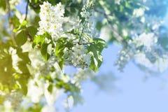 Bird cherry tree blossoms Stock Photos