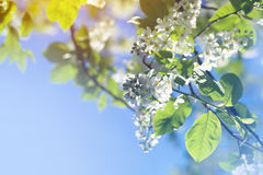 Bird cherry tree blossoms Royalty Free Stock Photo
