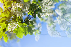 Bird cherry tree blossoms Royalty Free Stock Photography
