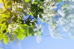 Bird cherry tree blossoms Royalty Free Stock Photography