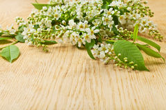 Bird cherry tree branch with flowers and leaves Stock Images