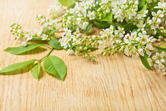 Bird cherry tree branch with flowers and leaves Royalty Free Stock Photo