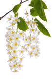 Bird cherry tree branch on white Royalty Free Stock Images