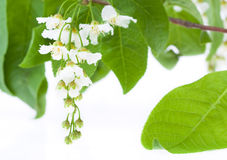Bird Cherry Tree flowers Stock Image