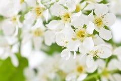 Bird cherry tree flowers Stock Photo
