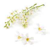 Bird cherry tree flowers Royalty Free Stock Photography
