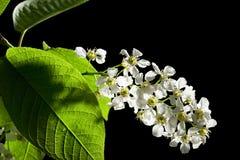 Bird cherry tree flowers Royalty Free Stock Photography
