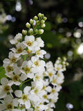 Bird-cherry tree flowers Stock Photo