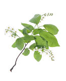 Bird Cherry Tree flowers. Spring Bird Cherry Tree flowers isolated over white Royalty Free Stock Photos