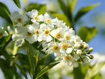 Bird cherry tree flowers Royalty Free Stock Image