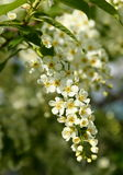 Bird cherry tree flowers Stock Photography