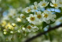 Bird cherry tree flowers Stock Photos