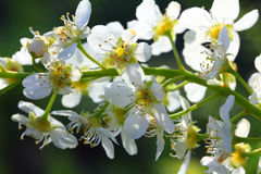 Bird cherry tree flowers macro Stock Photo