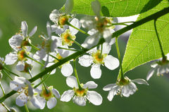 Bird cherry tree flowers macro Stock Images