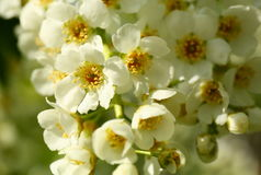 Bird cherry tree flowers macro Stock Photos