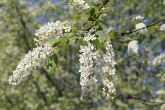 Bird cherry tree  flowers in the spring Royalty Free Stock Images
