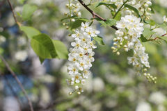 Bird cherry tree  flowers in the spring Stock Photos