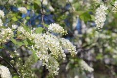 Bird cherry tree  flowers in the spring Royalty Free Stock Photos