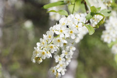 Bird cherry tree  flowers in the spring Stock Images