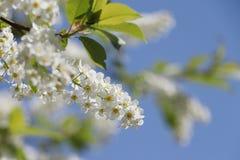Bird cherry tree  flowers in the spring Stock Image