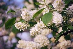 Bird-cherry tree flowers Stock Photo