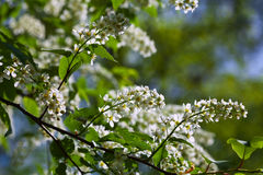 Bird Cherry tree in full bloom Royalty Free Stock Photography