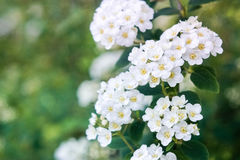 Bird-cherry tree. Bird cherry tree on a green background Stock Images