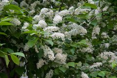 Bird cherry tree Royalty Free Stock Photography