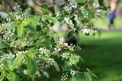 Bird-cherry tree Stock Images