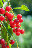 Bird Cherry tree (Prunus padus) Royalty Free Stock Photo