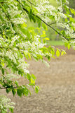 Bird Cherry tree Stock Images