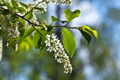 Bird Cherry tree at spring garden Royalty Free Stock Photos